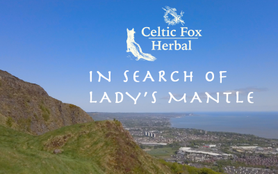 In search of Lady's Mantle – Cavehill Foraging Walk Belfast