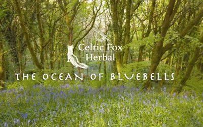 The Ocean of Bluebells – A walk in Bellurgan Park Forest